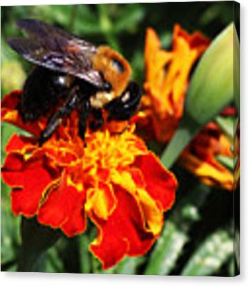 Bee On Marigold Canvas Print by William Selander