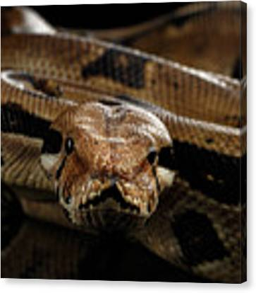 Boa Constrictor Imperator Color, On Isolated Black Background Canvas Print by Sergey Taran