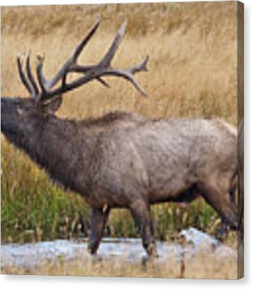 Bull Elk In Yellowstone Canvas Print by Wesley Aston