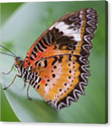 Butterfly On The Edge Of Leaf Canvas Print by John Wadleigh