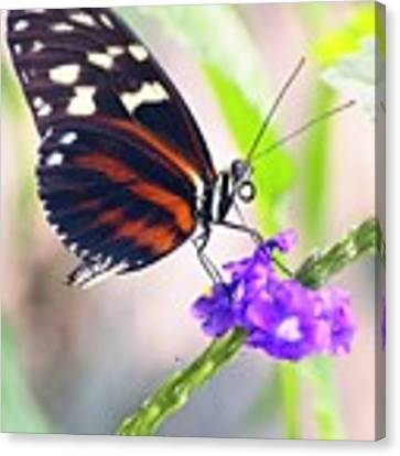 Butterfly Side Profile Canvas Print by Garvin Hunter