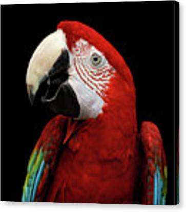 Close-up Funny Portrait Green-winged Macaw, Ara Chloroptera, Isolated Black Background Canvas Print by Sergey Taran