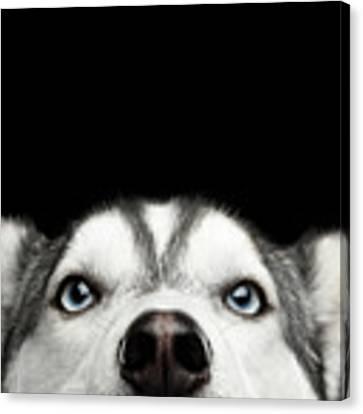 Close-up Head Of Peeking Siberian Husky Canvas Print by Sergey Taran