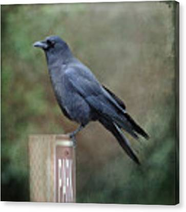 Crow Parking Canvas Print by Sally Banfill