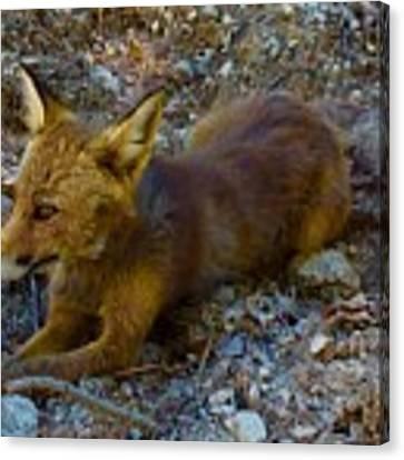 Cute Fox Friend  Canvas Print by Colette V Hera Guggenheim