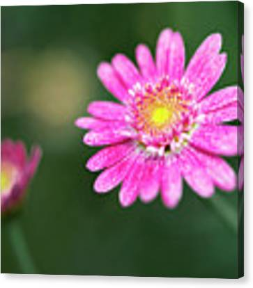 Daisy Flower Canvas Print by Pradeep Raja Prints