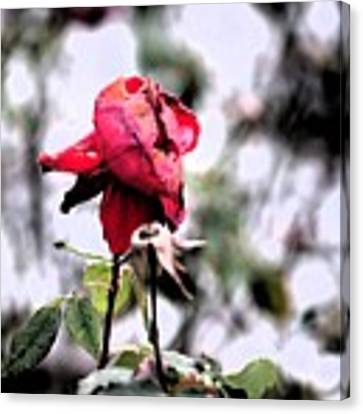 December Rose #16 Canvas Print by Brian Gryphon