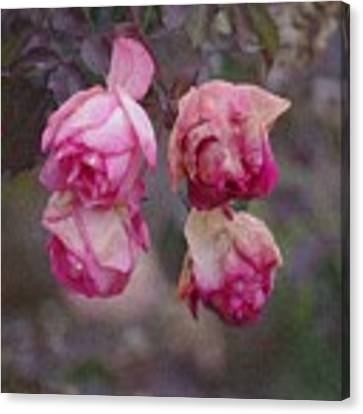 December Rose #263 Canvas Print by Brian Gryphon