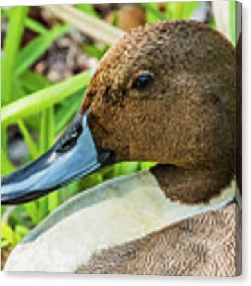 Male Northern Pintail In Key West Canvas Print by Bob Slitzan