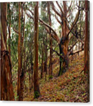 Eucalyptus Grove In California Canvas Print by Ben Upham III