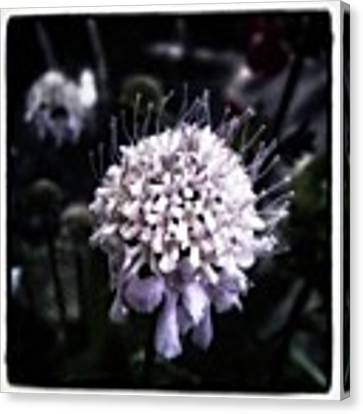 Field Scabious. A Member Of The Canvas Print by Mr Photojimsf