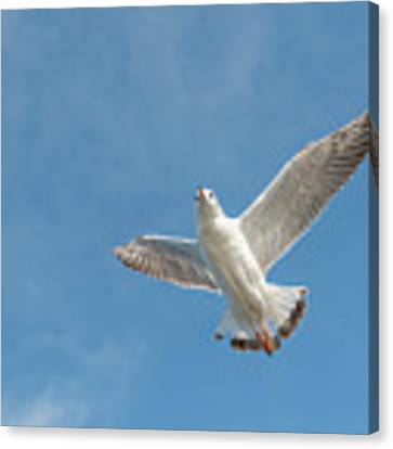 Flying Seagull Canvas Print by Pradeep Raja PRINTS