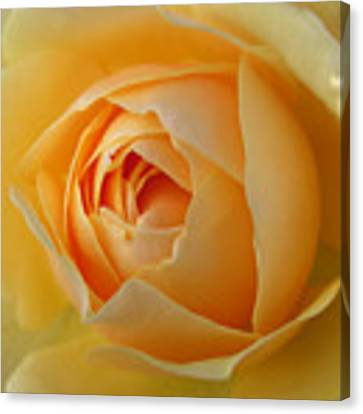 Graham Thomas Old Fashioned Rose Canvas Print by Jocelyn Friis