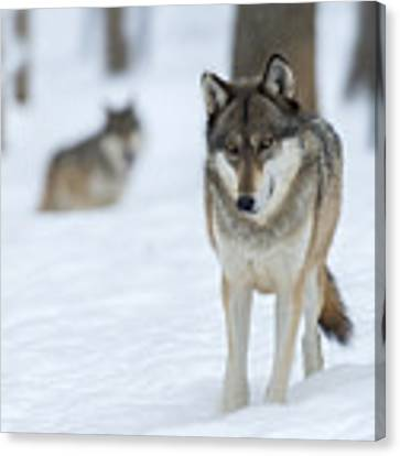 Grey Wolf In Snow With Wolf In Distance Canvas Print by Dan Friend