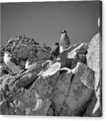 Gulls On Guard - Pt Mugu, California Canvas Print by Samuel M Purvis III