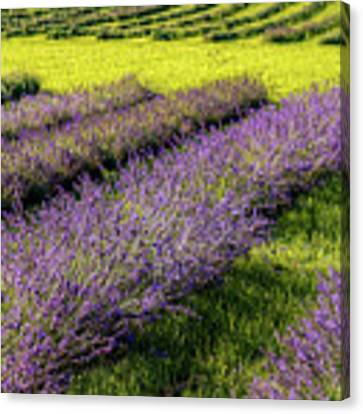 Lavender Fields Forever Canvas Print by Kendall McKernon