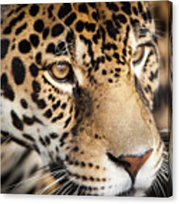 Leopard Face Canvas Print by John Wadleigh