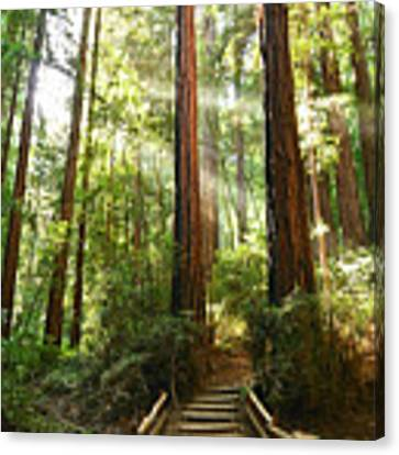 Light The Way - Redwood Forest Of Muir Woods National Monument With Sun Beam. Canvas Print