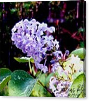 Lilacs Canvas Print by Deleas Kilgore
