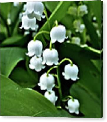 Lilly Of The Valley Flowers Canvas Print by Jeremy Hayden