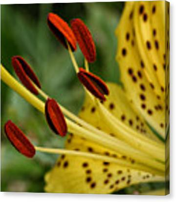 Lily Center Canvas Print by William Selander