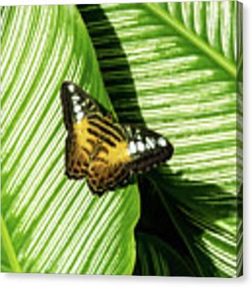 Little Butterfly On Big Green Leaves Canvas Print by Bob Slitzan