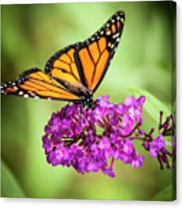 Monarch Moth On Buddleias Canvas Print by Carolyn Marshall