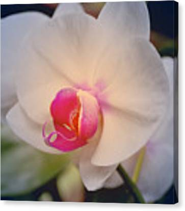 Moth Orchid 1 Canvas Print by Kate Word