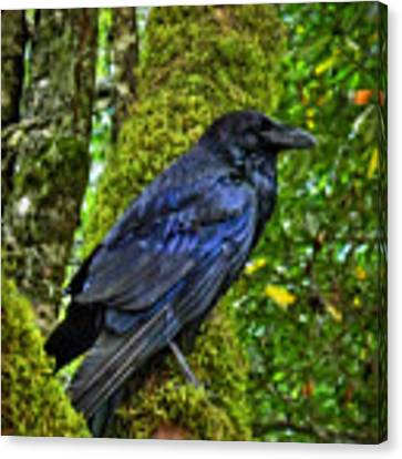 Muir Woods Raven 001 Canvas Print by Lance Vaughn