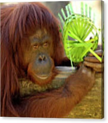 Orangutan Canvas Print by Carolyn Marshall