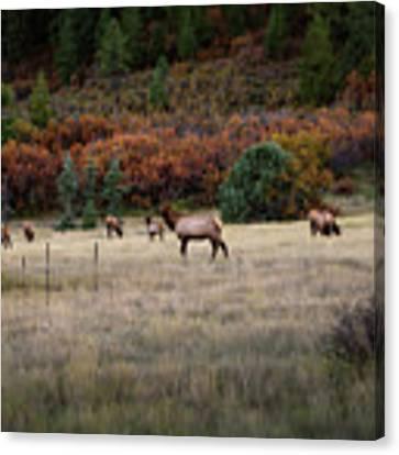 Pagosa Autumn Elk Canvas Print by Jason Coward