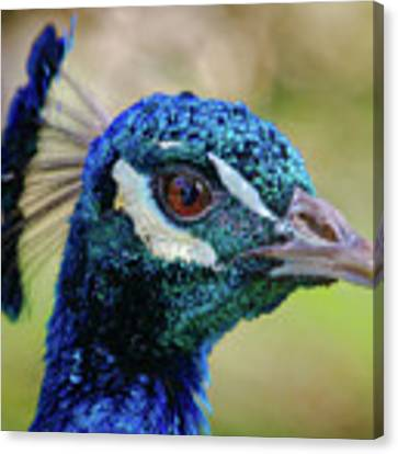 Peacock Stare Canvas Print by Elaine Malott