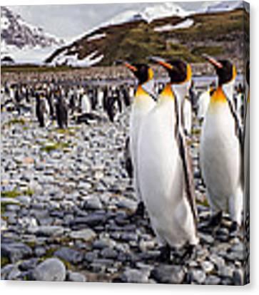 Penguins Of Salisbury Plain Canvas Print by Karen Lunney