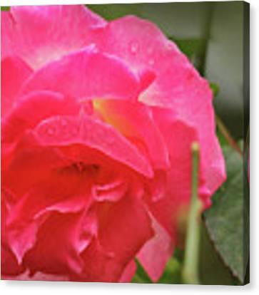 Pink Rose Canvas Print by Kelly Hazel
