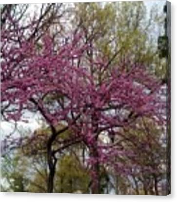Purple Spring Trees Canvas Print by Rachel Maynard