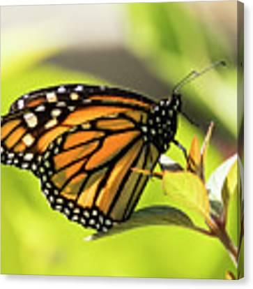 Queen Butterfly Canvas Print by Bob Slitzan