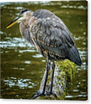 Rainy Day Heron Canvas Print by Belinda Greb