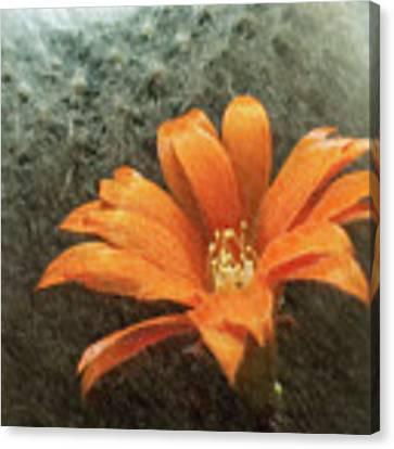 Rebutia Muscula Bright Orange Flower Canvas Print by Heiko Koehrer-Wagner