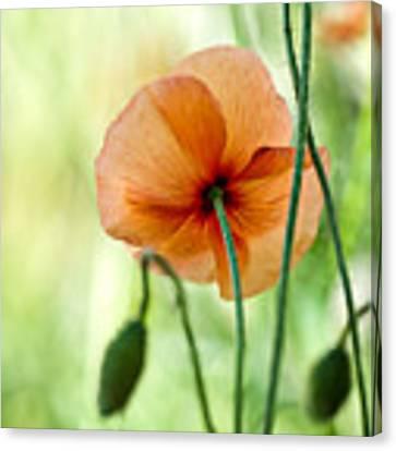 Red Corn Poppy Flowers 02 Canvas Print by Nailia Schwarz