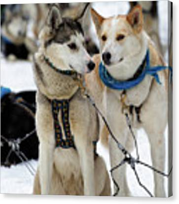 Sled Dogs Canvas Print by David Buhler