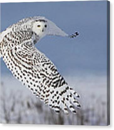 Snowy Owl Canvas Print by Mircea Costina