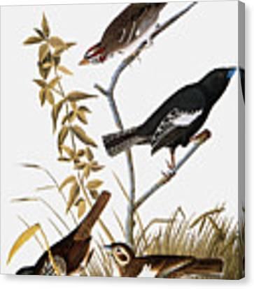 Sparrows Canvas Print by John James Audubon
