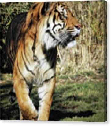 Sumatran Tiger  Canvas Print by Elaine Malott