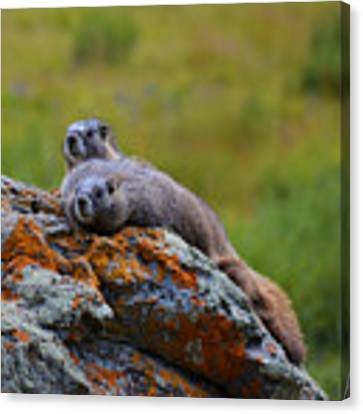 Sunbathing Marmots Canvas Print by Kate Avery
