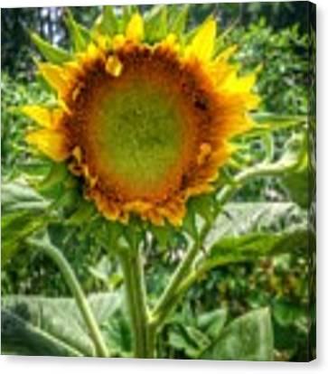 Sunflower In Mocksville Canvas Print by Ben Shields