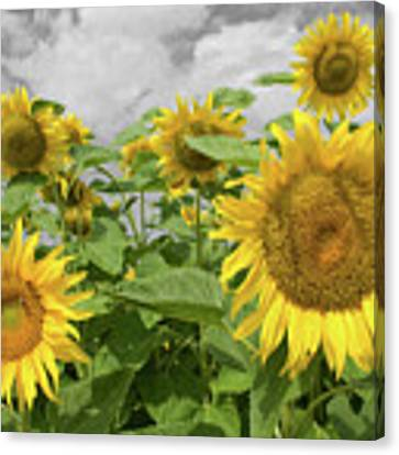 Sunflowers I Canvas Print by Dylan Punke