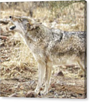 The Coyote Howl Canvas Print by Elaine Malott