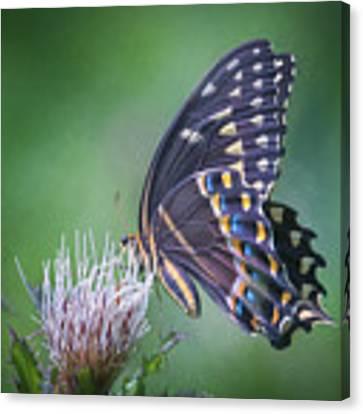 The Mattamuskeet Butterfly Canvas Print by Cindy Lark Hartman