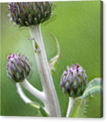 Thistle Stipe  With Buds Canvas Print by Heiko Koehrer-Wagner