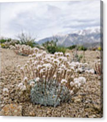 Tiny Mountain Blooms Canvas Print by Margaret Pitcher